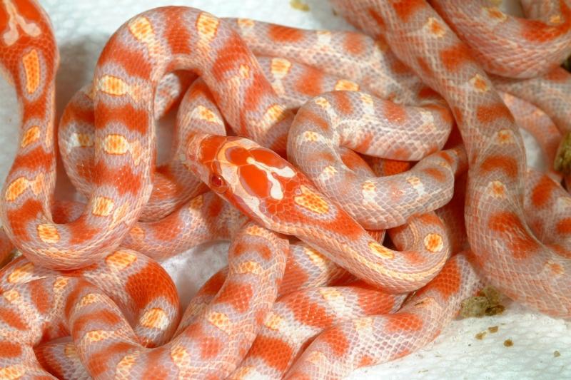 Fluorescent Orange Corn Snake i love them all