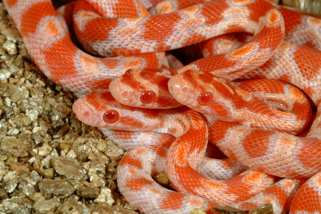 Fluorescent Orange Corn Snake Sometime they just look so